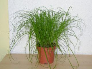 Циперус Зумула (Cyperus zumula)