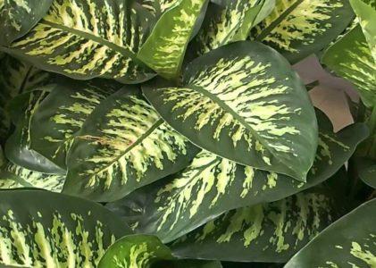 Как ухаживать за диффенбахией дома и вырастить шикарное растение