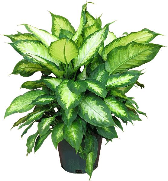Dieffenbachia maculata camille