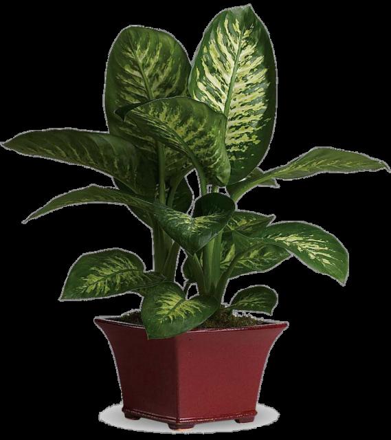 Dieffenbachia maculata compacta