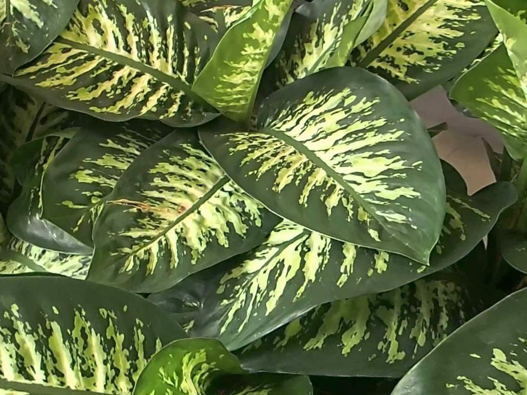 Dieffenbachia maculata