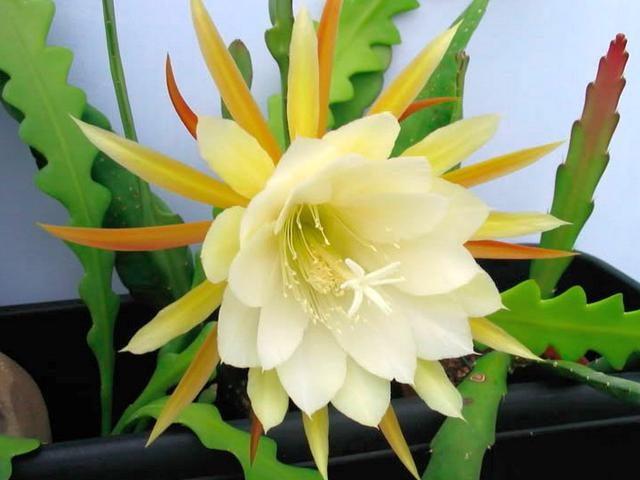 Эпифиллум зазубренный (Epiphyllum crenatum)