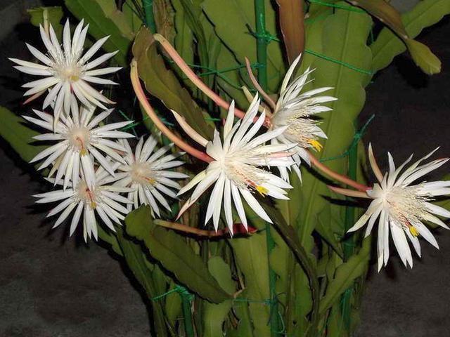 Эпифиллум Хукера (Epiphyllum hookeri)