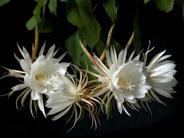 Эпифиллум кислолепестной (Epiphyllum oxypetalum)