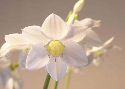 Эухарис — элегантная амазонская лилия