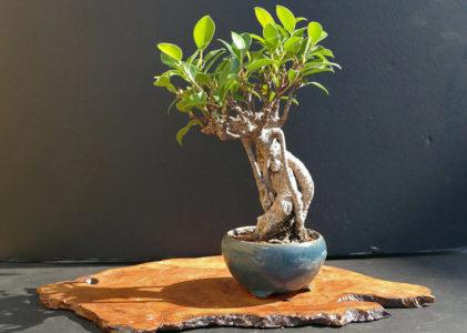Фикус микрокарпа — первые шаги к искусству бонсай