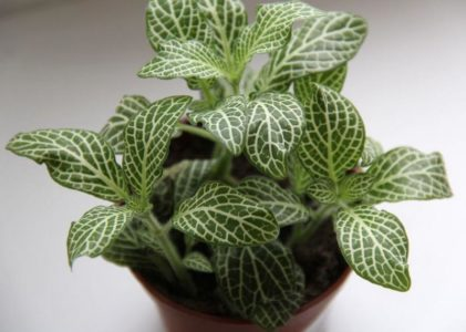 Фиттония — растение с удивительной окраской листьев