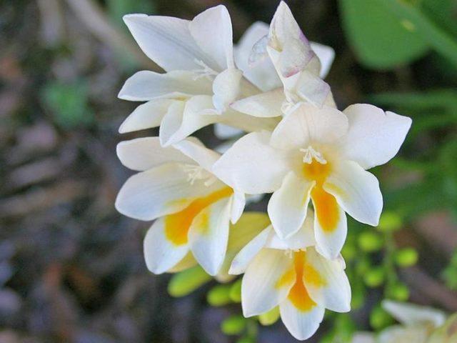 Фрезия гибридная (Freesia hibrida)