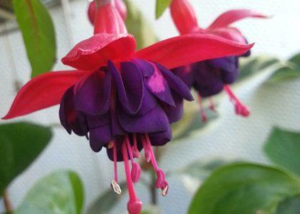 Секреты выращивания и обильного цветения фуксии