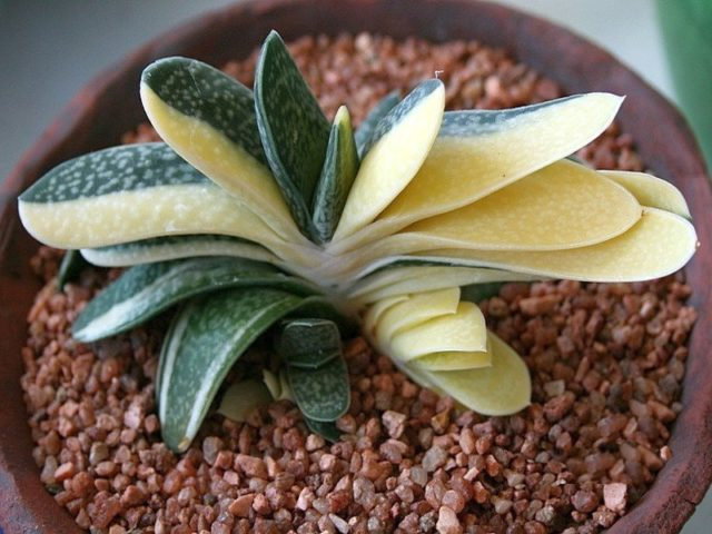 Гастерия изящная (Gasteria gracilis)