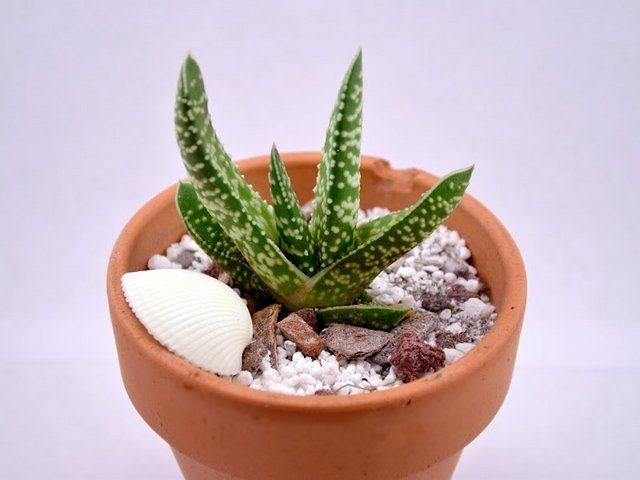 Гастерия бородавчатая (Gasteria verrucosa)