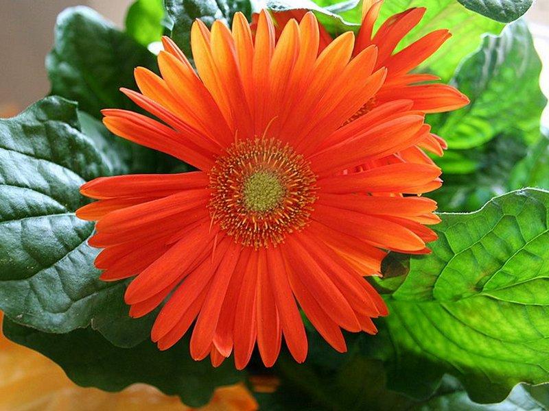 Гербера Daisy Orange