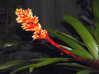 Гусмания Зана или Цана (Guzmania zahnii)