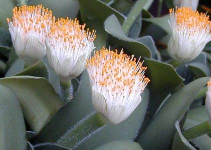 Цветок гемантус, известный как «олений язык»