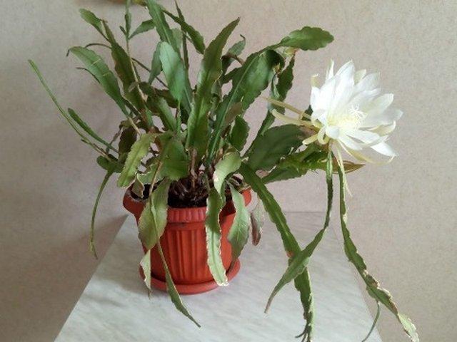 Гилоцереус — удивительный кактус-лиана