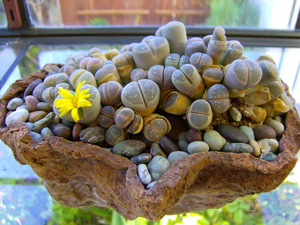 Купить цветы литопс в москве