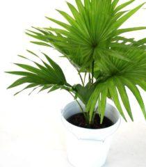 Ливистона круглолистная (Livistona rotundifolia)