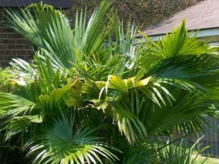 Ливистона прекрасная (Livistona speciosa)