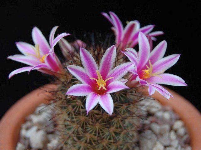Маммиллярия Блосфельда (Mammillaria blossfeldiana)