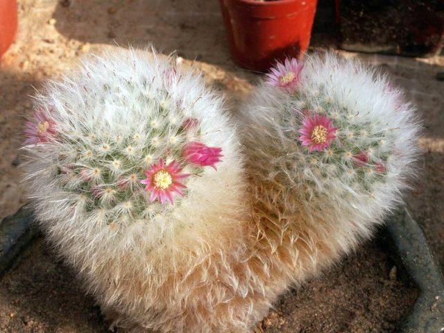 Маммиллярия Бокасана (Mammillaria bocosana)