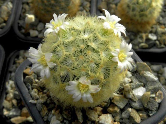 Маммиллярия Кармен (Mammillaria carmenae)