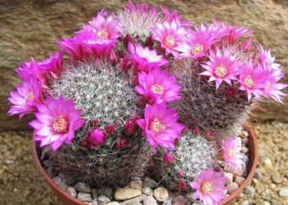Маммиллярия — самый большой род комнатных кактусов
