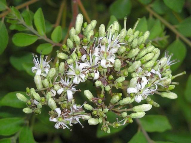 Муррайя Кенига (Murraya koenigii)