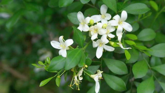 Муррайя метельчатая (Murraya paniculata)