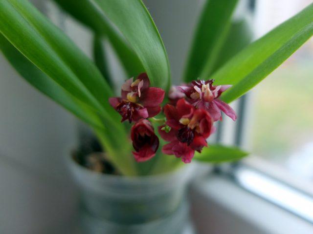 Орхидея онцидиум твинкл