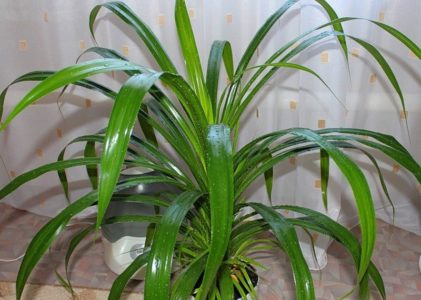 Панданус — оригинальная «винтовая пальма»