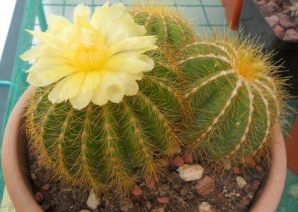 Пародия — род миниатюрных кактусов