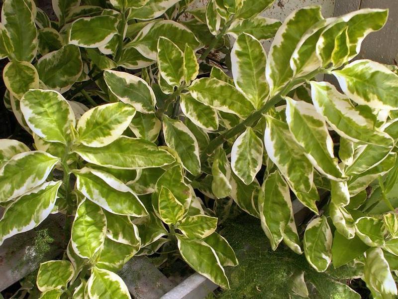 Педилантус титималоидный (Pedilanthus tithymaloides)