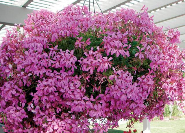 Пеларгония плющелистная ампельная (Pelargonium peltatum)
