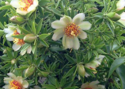 Переския шиповатая — удивительный лиственный кактус
