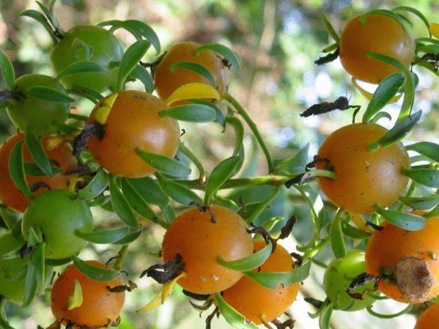 Плоды перескии