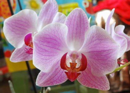 Орхидея фаленопсис — все о выращивании и уходе