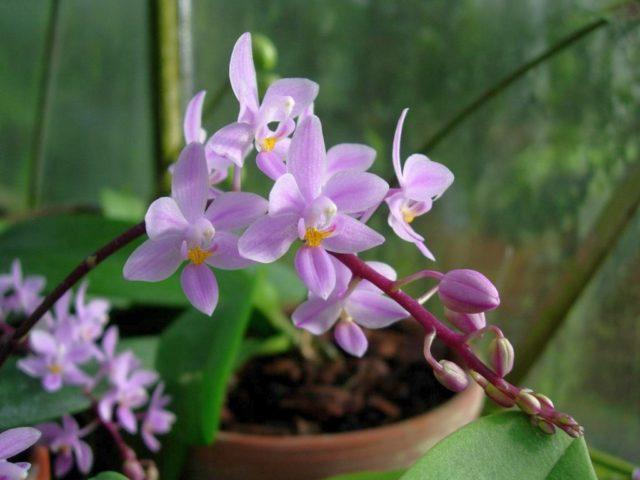 Фаленопсис розовый
