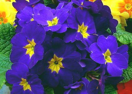 Комнатная примула — яркие краски первоцвета в вашем доме
