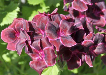 Пеларгония – душистый кустик с мягкими листьями