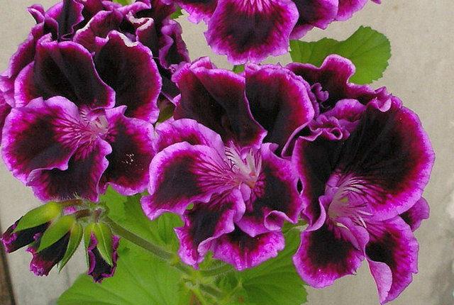 Пеларгония королевская (Regal Pelargonium)