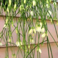 Рипсалис бурчелли (Rhipsalis burchellii)