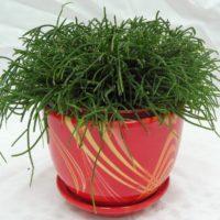 Рипсалис волосовидный (Rhipsalis capilliformis)