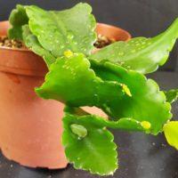 Рипсалис кудрявый (Rhipsalis crispata)