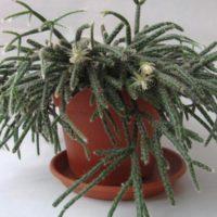 Рипсалис пилокарпа (Rhipsalis pilocarpa)