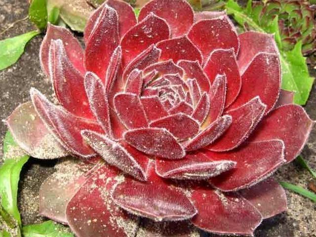 Молодило мраморное (Sempervivum marmoreum)