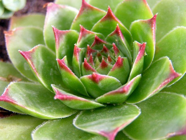Молодило кровельное (Sempervivum tectorum)