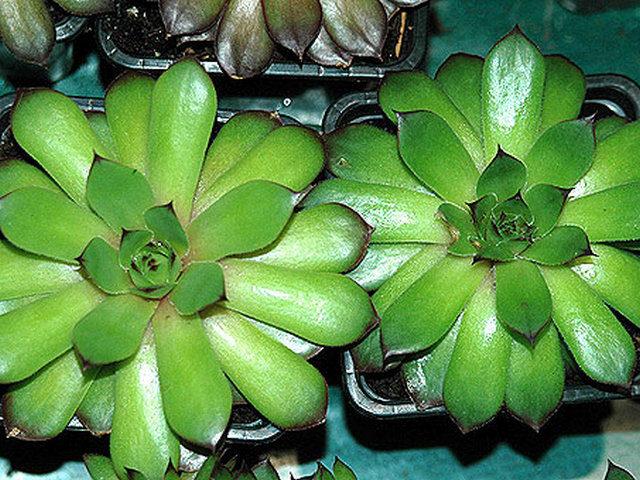Молодило гибридное (Sempervivum x hybridum hort.)
