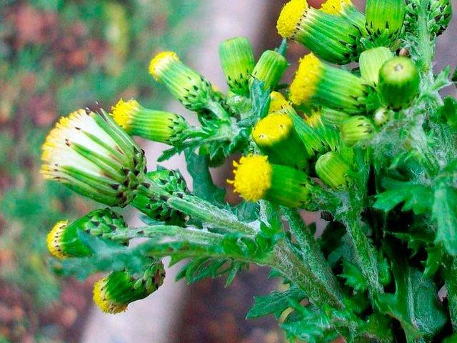 Крестовник обыкновенный (Senecio vulgaris)