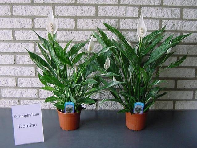 Спатифиллум Домино (Spathiphyllum Domino)