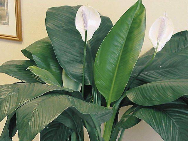 Спатифиллум Сенсация (Spathiphyllum Sensation)